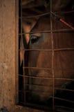 Primo piano dell'occhio dei cavalli Fotografia Stock Libera da Diritti
