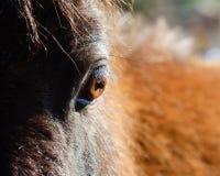 Primo piano dell'occhio del cavallo Fotografia Stock Libera da Diritti