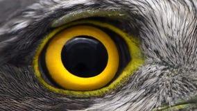 Primo piano dell'occhio del falco, macro foto, occhio del nisus euroasiatico femminile del Accipiter di Sparrowhawk archivi video
