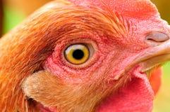 Primo piano dell'occhio del pollo Fotografie Stock Libere da Diritti