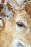 Primo piano dell'occhio del ` s dei cervi Fotografie Stock