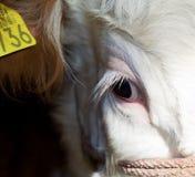 Primo piano dell'occhio della mucca Fotografia Stock