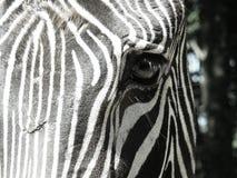 Primo piano dell'occhio della zebra Immagini Stock Libere da Diritti