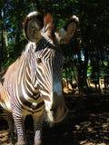 Primo piano dell'occhio della zebra Fotografia Stock Libera da Diritti