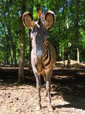 Primo piano dell'occhio della zebra Fotografie Stock