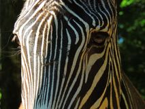 Primo piano dell'occhio della zebra Fotografie Stock Libere da Diritti