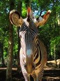 Primo piano dell'occhio della zebra Fotografia Stock