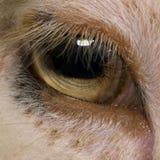 Primo piano dell'occhio delle pecore merino di Arles Immagini Stock Libere da Diritti