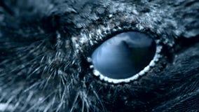 Primo piano dell'occhio di Raven, macro, occhio del corvo incappucciato modificato stock footage