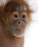 Primo piano dell'orangutan di Sumatran del bambino Fotografie Stock Libere da Diritti