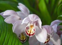 primo piano dell'orchidea Immagini Stock Libere da Diritti