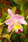 Primo piano dell'orchidea Immagine Stock
