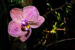 Primo piano dell'orchidea dentellare Fotografia Stock
