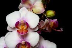 Primo piano dell'orchidea di phalaenopsis su un fondo nero Isolato fotografie stock