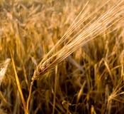 Primo piano dell'orecchio del grano fotografia stock libera da diritti