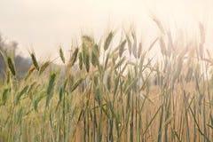 Primo piano dell'orecchio del grano nel campo Fotografie Stock Libere da Diritti