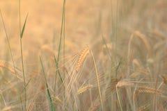 Primo piano dell'orecchio del grano nel campo - fondo del cereale Fotografia Stock Libera da Diritti