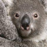 Primo piano dell'orso di Koala, cinereus del Phascolarctos Fotografia Stock