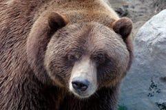 Primo piano dell'orso grigio Fotografie Stock Libere da Diritti
