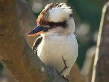 Primo piano dell'uccello di kookaburra immagini stock