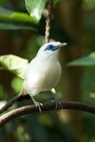 Primo piano dell'uccello di myna di Bali in alberi Fotografia Stock