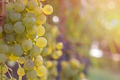 Primo piano dell'uva bianca in una vigna durante l'autunno Fotografie Stock