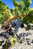 Primo piano dell'uva blu matura Immagine Stock
