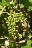 Primo piano dell'uva non maturata Fotografie Stock