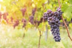 Primo piano dell'uva rossa in una vigna durante l'autunno Fotografie Stock Libere da Diritti