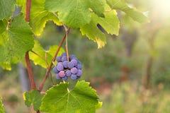 Primo piano dell'uva rossa in una vigna durante l'autunno Immagini Stock