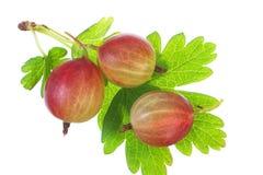 Primo piano dell'uva spina matura con la foglia. Fotografia Stock