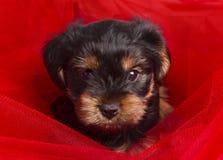 Primo piano dell'Yorkshire terrier del cucciolo Fotografia Stock Libera da Diritti