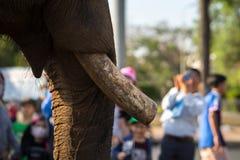 Primo piano dell'zanne degli elefanti Elefante allevato Fotografie Stock Libere da Diritti