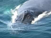 Primo piano della balena Immagini Stock Libere da Diritti
