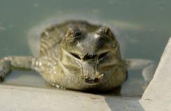 Primo piano della bocca dell'alligatore Fotografie Stock