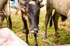 Primo piano della bocca della mucca che mastica alimento, corda legata attraverso il naso per controllare Immagini Stock