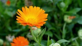 Primo piano della brezza che soffia fiore arancio della calendula della calendula video d archivio