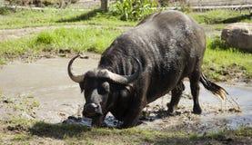 Primo piano della Buffalo del capo Fotografia Stock