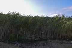 Primo piano della canna nana del cattail in uno stagno di nuoto immagini stock