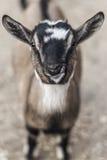 Primo piano della capra Fotografie Stock Libere da Diritti