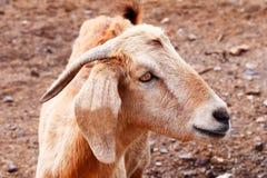 Primo piano della capra Immagini Stock Libere da Diritti