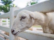 Primo piano della capra bianca della razza della latteria in azienda agricola mentre cercando alcuno Fotografia Stock
