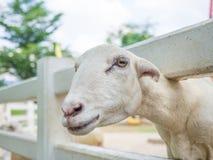 Primo piano della capra bianca della razza della latteria in azienda agricola mentre guardando macchina fotografica Immagini Stock Libere da Diritti
