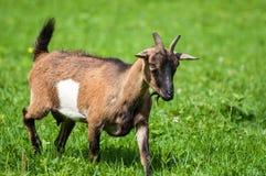 Primo piano della capra che pasce sul pascolo fotografia stock libera da diritti