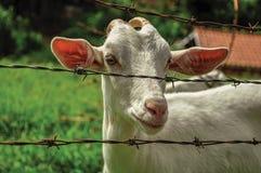 Primo piano della capra dopo un recintare una fattoria vicino al villaggio dei pois del ³ di Joanà Fotografia Stock