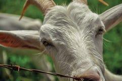 Primo piano della capra dopo un recintare una fattoria vicino al villaggio dei pois del ³ di Joanà Immagine Stock