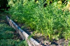 Primo piano della carota dolce che cresce nel giardino Fotografia Stock Libera da Diritti