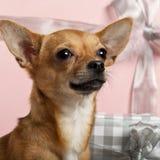 Primo piano della chihuahua, 10 mesi Fotografia Stock Libera da Diritti