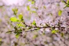 Primo piano della ciliegia del fiore Immagine Stock Libera da Diritti