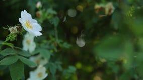 Primo piano della coccinella che striscia sulla foglia dell'albero con il fuoco di transizione sul fiore bianco della bella molla archivi video